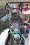 Donkey posing Royalty Free Stock Image