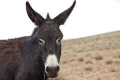 Donkey. Closeup of a brown and white  moroccan donkey Royalty Free Stock Images