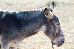 Donkey in profile Royalty Free Stock Image