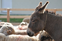 Donkey. Profile of a donkey on farmland with some sheep around him Royalty Free Stock Photography