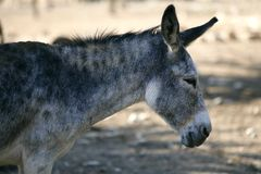 Donkey profile side view portrait in gray  color Royalty Free Stock Photos