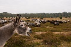 Donkey protects sheep herd from wolf Royalty Free Stock Images
