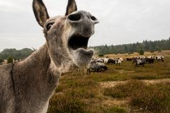 Donkey protects sheep herd from wolf Stock Image