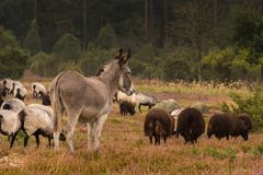 Donkey protects sheep herd from wolf Royalty Free Stock Photography
