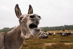 Donkey protects sheep herd from wolf Royalty Free Stock Photo