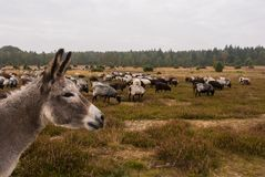 Donkey protects sheep herd from wolf Stock Photo