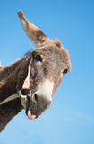 A donkey puts out a tongue Royalty Free Stock Photos