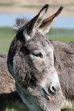 Donkey puts out a tongue Stock Photography