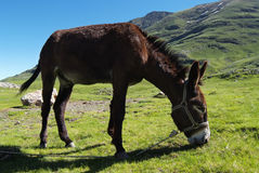 Donkey of pyrenees Royalty Free Stock Image