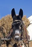 Donkey ready for leaving. Donkey waiting with his load ready to leave Stock Image