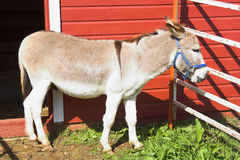 Donkey and Red Barn. A small donkey near a red barn Stock Photos