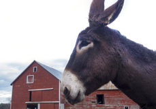 Donkey with red barn. Donkey or mule with red barn Stock Photo