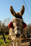 Donkey with red tassels Stock Photography