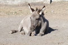 Donkey resting Stock Photography