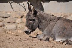 Donkey resting Stock Photos