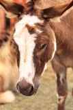 Donkey rests in a pen on a farm Stock Photo
