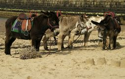 Donkey Ride. Donkeys on a beach for donkey rides royalty free stock photos