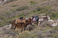 Donkey rides for tourists Royalty Free Stock Image