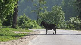 Donkey on the road, car passing near animal, avoid accident, danger on road. UHD 4K stock video footage
