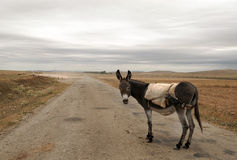 Donkey on the road. Donkey on the rural road in the Spanish province of Teruel, even side is a herd of sheep on a cloudy day Royalty Free Stock Images