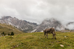 Donkey roaming in Dolomites Royalty Free Stock Images