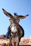 Donkey in rock city Petra Royalty Free Stock Photography