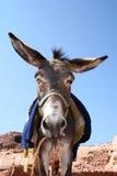 Donkey in rock city Petra Royalty Free Stock Photography