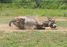 Donkey rolling in the dirt Stock Photography