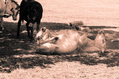 Donkey Rolling In Dust Royalty Free Stock Image