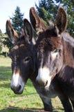 Donkey's Stock Photography