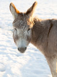 Donkey's Face in Winter Royalty Free Stock Photos