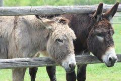 Donkey's at Fence Stock Image