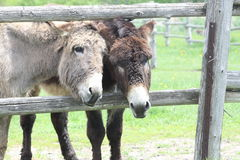 Donkey's at Fence Royalty Free Stock Photography