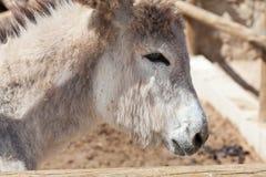 Donkey's head Royalty Free Stock Photography