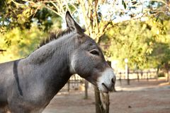 Donkey in the foreground. Donkey`s head in the foreground Stock Photo