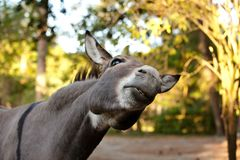 Donkey in the foreground. Donkey`s head in the foreground Royalty Free Stock Photography