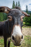 Donkey's head in the mountains.  royalty free stock photos
