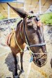 Donkey. Sad donkey from santorini island, fish-eye photography Stock Image