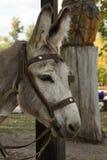 Donkey. Royalty Free Stock Images