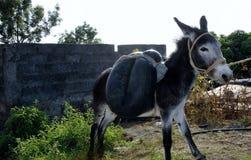 Donkey saddled with water tube Stock Image