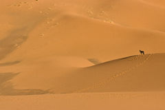 Donkey in the Sahara desert Stock Image