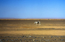 Donkey in Sahara desert Stock Photography