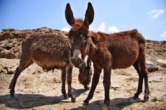 Donkey in the Sahara Royalty Free Stock Image