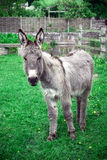 Donkey in a sanctuary. Royalty Free Stock Photos