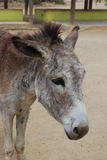 Donkey Sanctuary on the Carribean Island of Aruba Royalty Free Stock Images