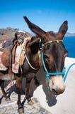 Donkey in Santorini Stock Image