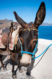Donkey in Santorini Royalty Free Stock Photo