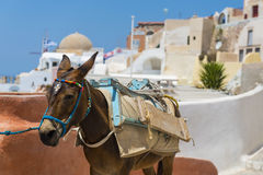 Donkey in Santorini, Greece Royalty Free Stock Photos