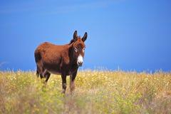 Donkey on Santorini island Royalty Free Stock Photos