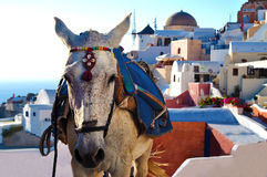 Donkey of Santorini. Traditional tourist attraction. Donkey of Santorini waiting for work Stock Image